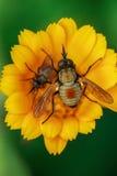 Macro de mouche sur la fleur jaune Photographie stock libre de droits