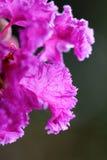 Macro de Myrtle Flower de crêpe avec la rosée de début de la matinée Photographie stock libre de droits