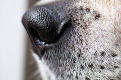 Macro de nez de chien de briquet Image stock