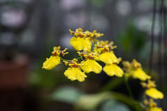 Macro de orquídeas amarillas Fotos de archivo libres de regalías