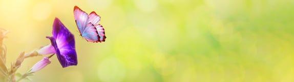 Macro de pétunia dans le domaine de ressort d'été sur le fond de bokeh de ressort avec le soleil et un papillon volant Horizontal image stock