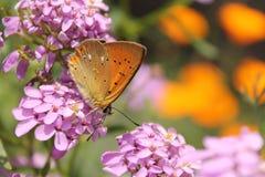 Macro de papillon Photos libres de droits