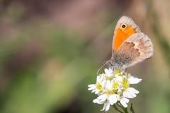 Macro de papillon Photographie stock