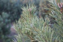 Macro de pin Images libres de droits