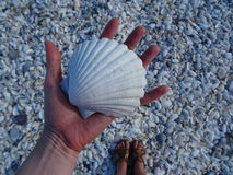 Macro de plage de coque Photos libres de droits