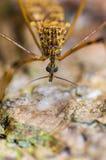 Macro de plan rapproché de moustique Images stock