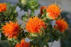 Macro de plan rapproché de fleur de carthame Photos libres de droits