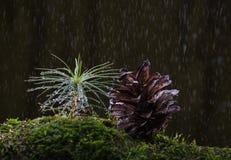 Macro de pluie à la forêt de sapin Photos libres de droits