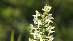 Macro de poca flor blanca del bifolia del Platanthera de la orquídea de mariposa metrajes