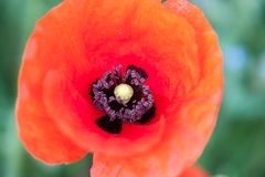 Macro de Poppie images stock