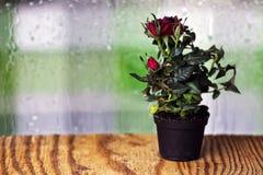 Macro de pot de baisse de Rose Photo libre de droits