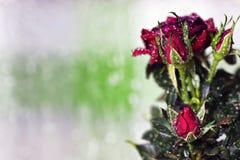 Macro de pot de baisse de Rose Photo stock