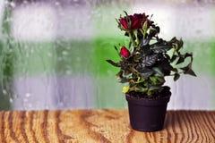 Macro de pot de baisse de Rose Photos libres de droits