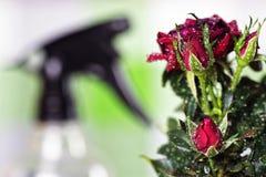 Macro de pot de baisse de Rose Images stock