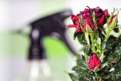 Macro de pot de baisse de Rose Photos stock