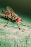 Macro de Red Eye de la mosca Fotografía de archivo libre de regalías