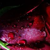 Macro de Rose With Water Droplets Image stock