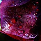 Macro de Rose With Water Droplets Images libres de droits