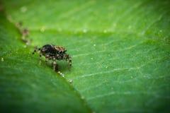 Macro de salto de la araña Fotografía de archivo libre de regalías