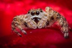 Macro de salto de la araña Foto de archivo libre de regalías