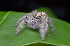 Macro de salto de la araña del scenicus de Salticus, pequeño insecto en el natu imágenes de archivo libres de regalías