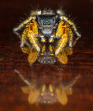 Macro de salto preto e amarelo pequeno da aranha Fotos de Stock