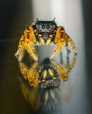 Macro de salto preto e amarelo pequeno da aranha Imagem de Stock
