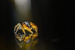 Macro de salto preto e amarelo pequeno da aranha Foto de Stock Royalty Free
