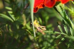 Macro de sauterelle images stock