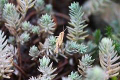 Macro de sauterelle Photo libre de droits