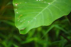 Macro de sauterelle, insecte vert de nature image libre de droits