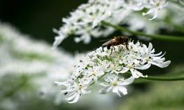 Macro de Sideview de la abeja que recoge nektar de blosso de la flor blanca Imagen de archivo