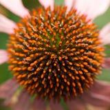 Macro de tête de fleur pourpre de Coneflower Photographie stock libre de droits