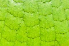 Macro de textuurachtergrond van Victoria Amazonica Giant Water Lilies royalty-vrije stock afbeeldingen