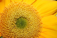 Macro de tournesol Photographie stock libre de droits