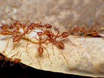 Macro de trabajo de la hormiga roja en huevo moveing de la hormiga de la secta fotos de archivo