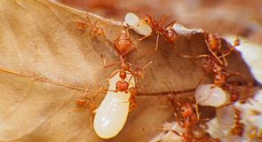 Macro de trabajo de la hormiga roja en huevo moveing de la hormiga de la secta imagenes de archivo