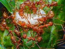 Macro de trabajo de la hormiga roja en huevo moveing de la hormiga de la secta imagen de archivo libre de regalías