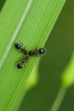 Macro de tres hormigas negras Imágenes de archivo libres de regalías