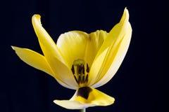 Macro de tulipe jaune avec l'étamine et le pollen Photographie stock libre de droits