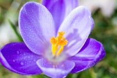 Macro de um açafrão violeta Foto de Stock Royalty Free