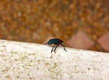 Macro de um besouro ciano fotografia de stock