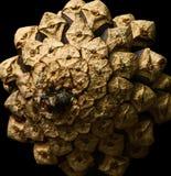 Macro de um cone do pinho Imagens de Stock