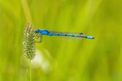 Macro de um Damselfly azul foto de stock