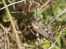 Macro de um grasshoppper Fotos de Stock Royalty Free