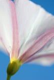 Macro de um harebell no céu azul Imagens de Stock Royalty Free