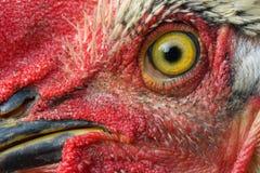 Macro de um olho da galinha Fotos de Stock Royalty Free