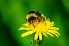 Macro de uma abelha tropeçar Fotografia de Stock Royalty Free