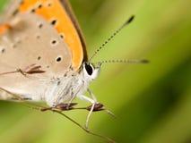 Macro de uma borboleta alaranjada Fotografia de Stock Royalty Free