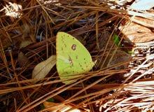 Macro de uma borboleta amarela em uma floresta do pinho Imagens de Stock